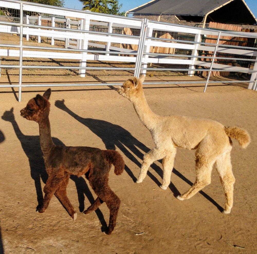 Alpacas of Menifee Valley
