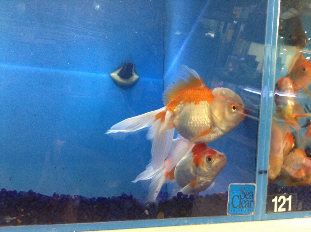 Giant ryukin goldfish yelp for Fish and pets unlimited