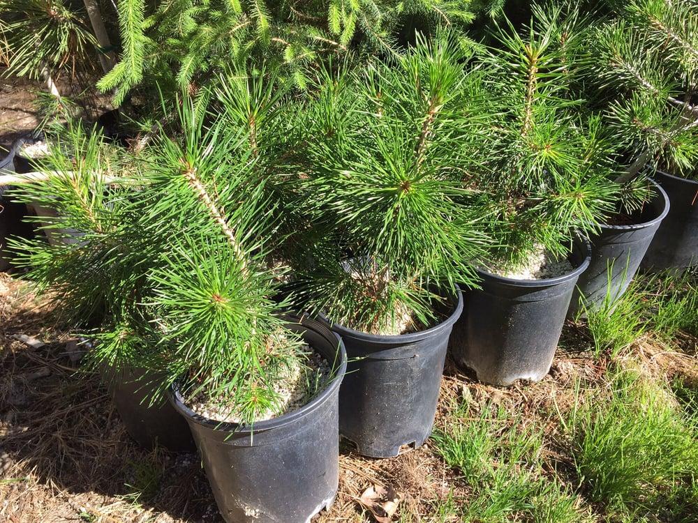 Welker's Grove Nursery: 42170 Cedar Springs Rd, Auberry, CA