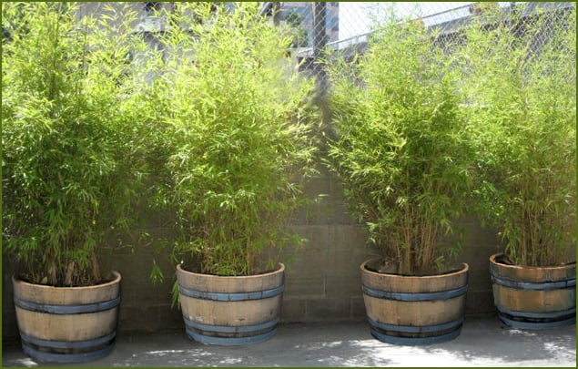 Use Wine Barrel Planters To Make A Perfect Bamboo Screen