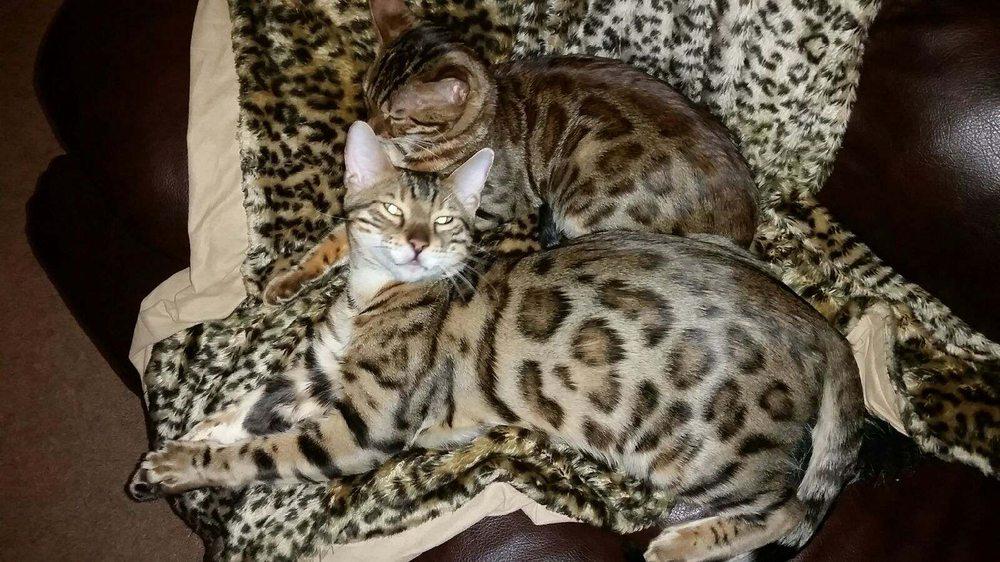 Assonet Bay Bengals Kittens & Cats