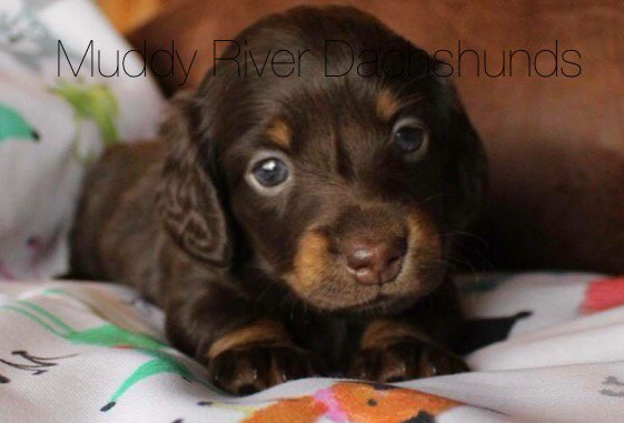 Beautiful chocolate and Tan dachshund puppies for sale Texas - Yelp
