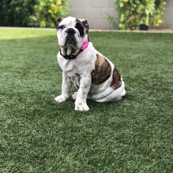 Arizonas Best English Bulldogs - 18 Photos - Pet Breeders