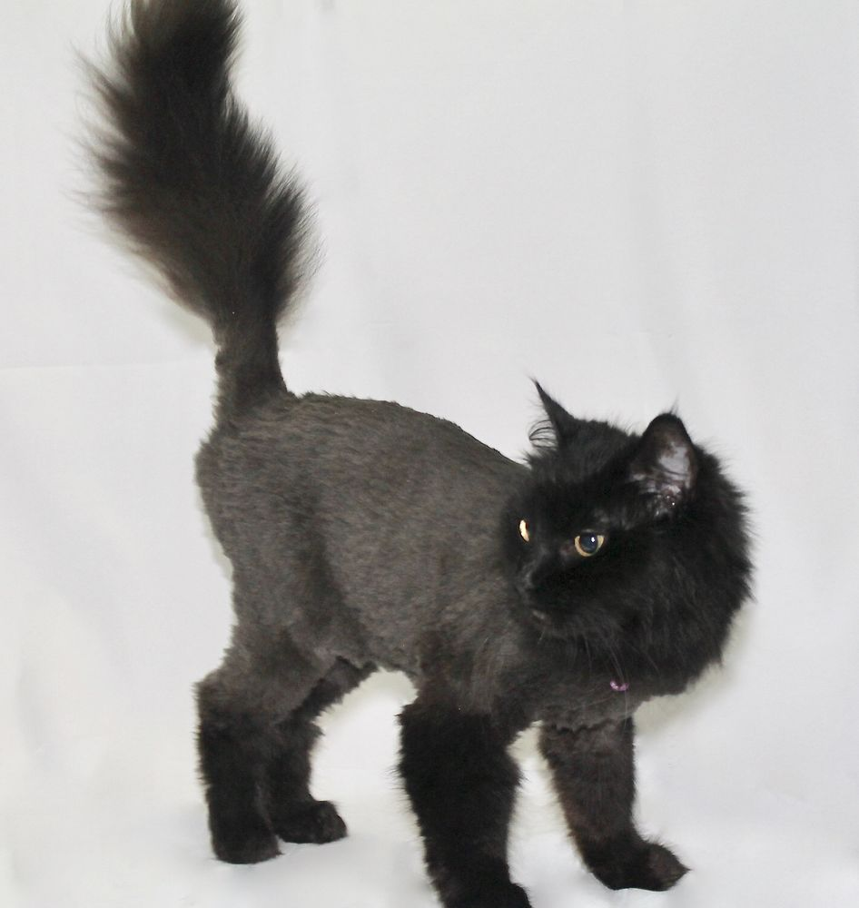 Cat Grooming by Jessica Paws: 155 E Foothill Blvd, Arcadia, CA