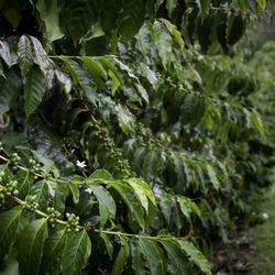 Green coffee bean supplement walmart picture 2