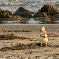 Photo Of Coronado Beach Ca United States Lucky Bird