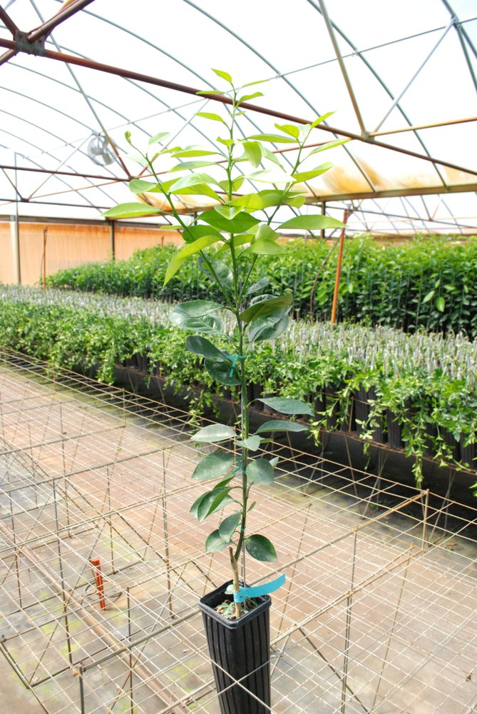 Brite Leaf Citrus Nursery: 480 Cr 416S, Lake Panasoffkee, FL