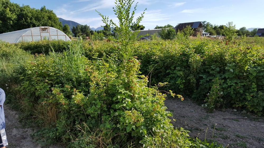 Perry's Berries: 325 E 1600th S, Mapleton, UT