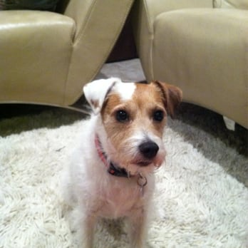 Nicely Groomed Long Hair Jack Russell Yelp