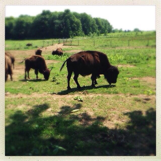 Lakeview Buffalo Farm: 5450 Sunny Ridge Rd, Belgium, WI