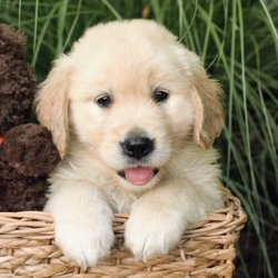My Golden Retriever Puppies - 2019 All You Need to Know