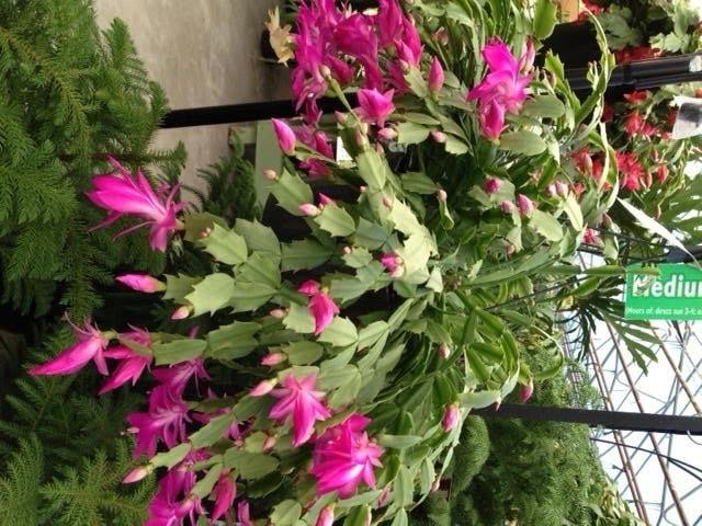 Christmas Cactus @ Tagawa Gardens - Garden Center Parker - Denver ...