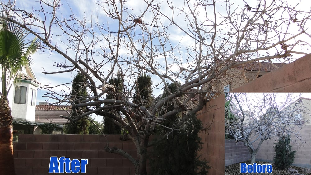 Before And After Of My Pistachio Tree Yelp
