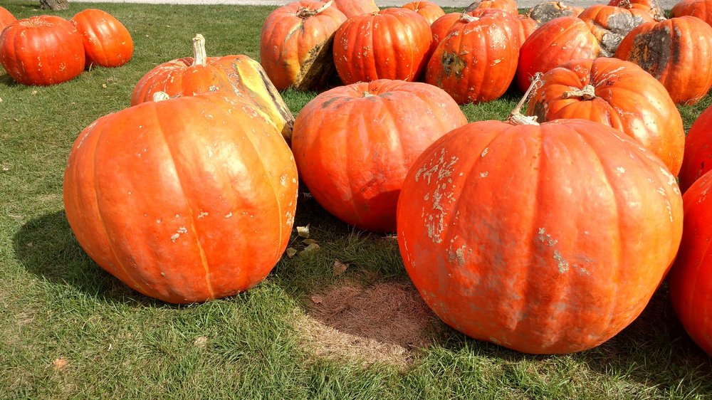 Negangard Pumpkin Patch: 1883 County Rd 700 N, Sidney, IL