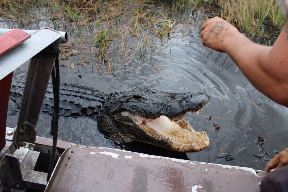 Buffalo Tigers Fl Everglades Airboat Tours