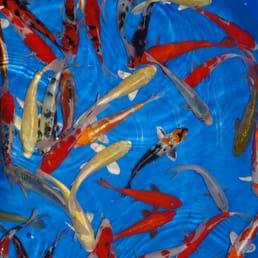 Photos for cn koi yelp for Koi for sale florida