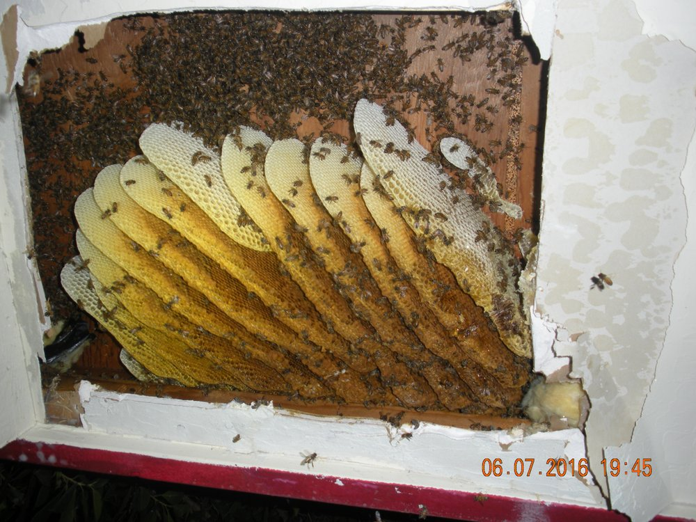 Hive Behind The Drywall It Is Cheaper To Repair The