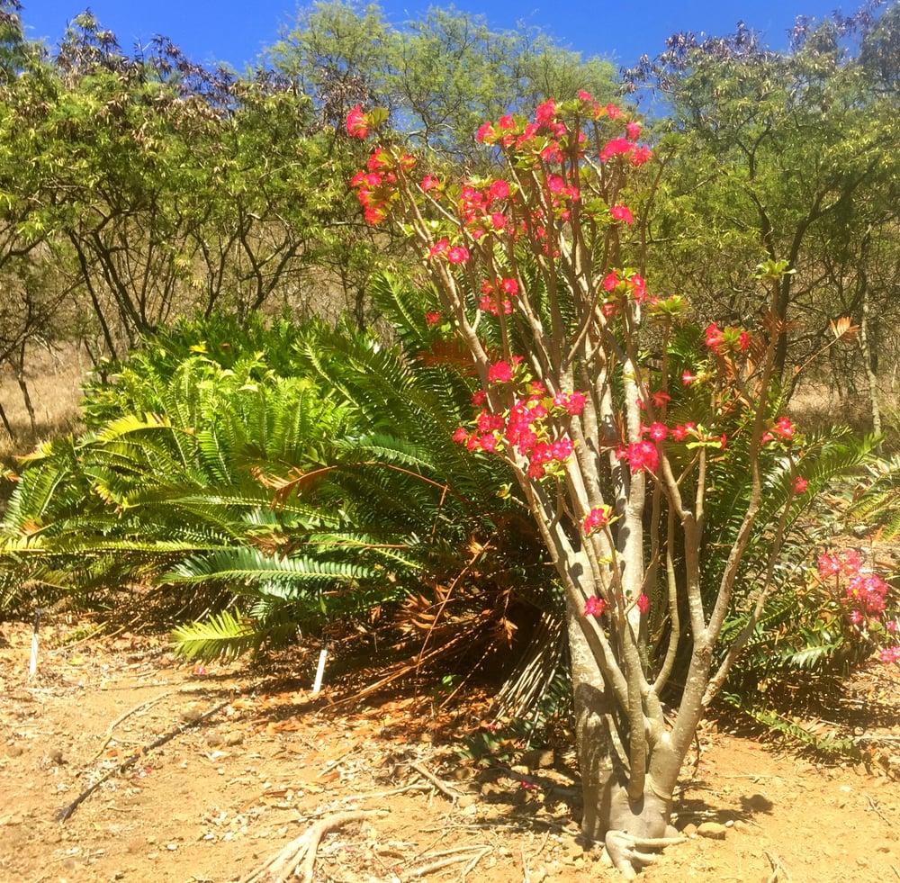 Desert Rose Yelp