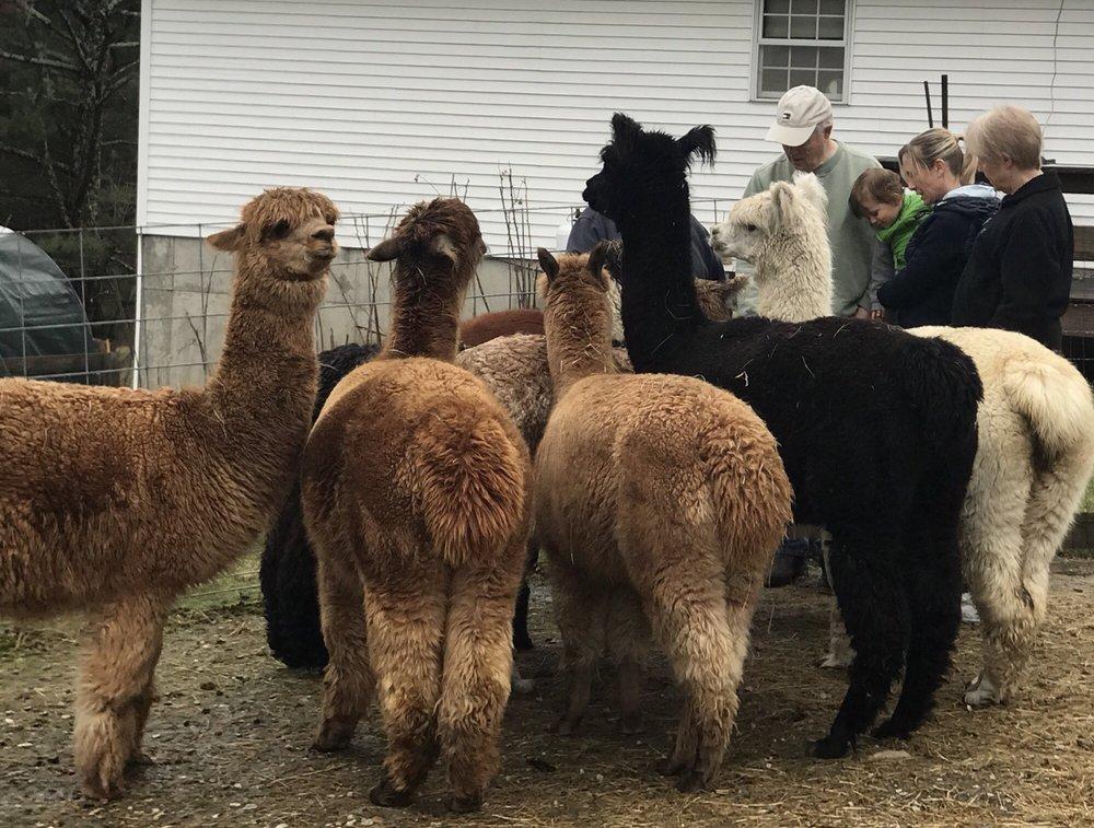 Wright Choice Alpacas: 161 Howland Rd, Castleton, VT