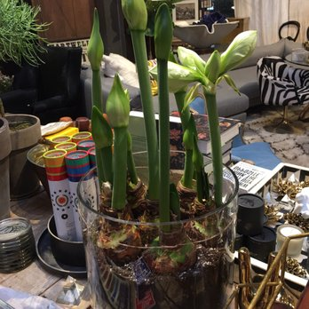 Photo Of Jayson Home   Chicago, IL, United States. Holiday Amaryllis  Planting :