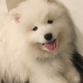 Kabeara Samoyeds - 41 Photos & 17 Reviews - Pet Breeders
