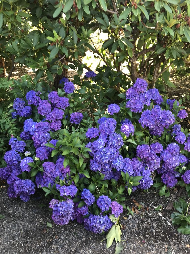 Photo Of Joy Creek Nursery Scoose Or United States Hydrangea Pia