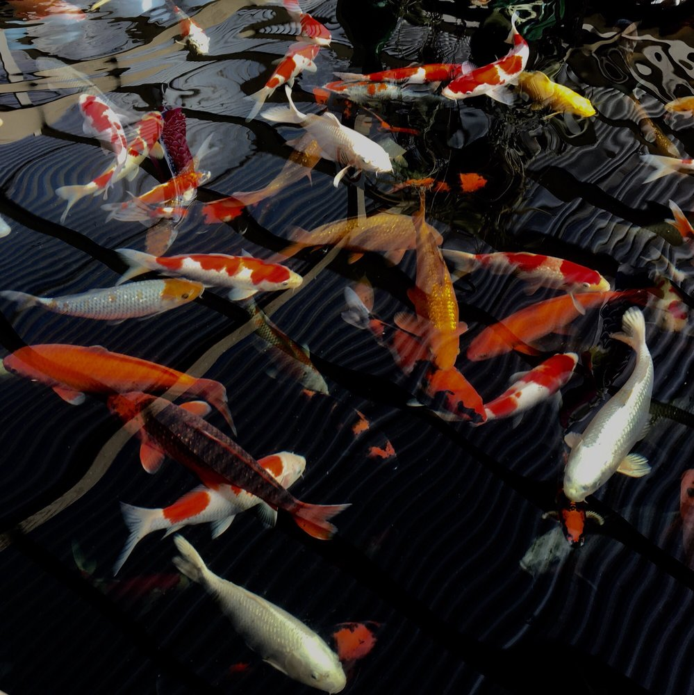 East Bay Koi - 97 Photos & 38 Reviews - Local Fish Stores