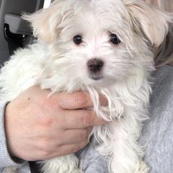 Tinytykes Puppies - 25 Photos & 12 Reviews - Pet Stores