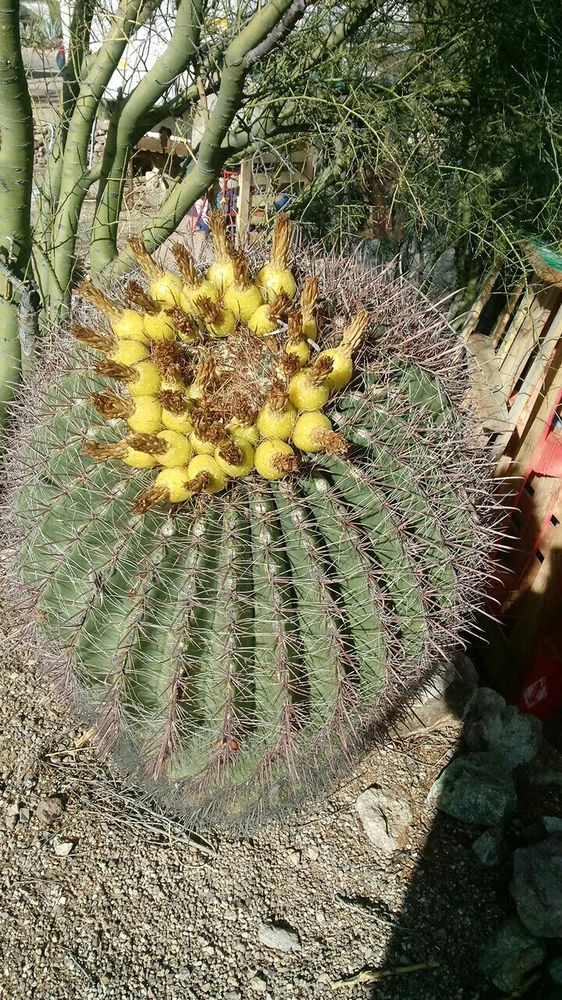 Barrel Cactus In My Yard At Arroyoseco Rv Park Yelp - Cactus-seco
