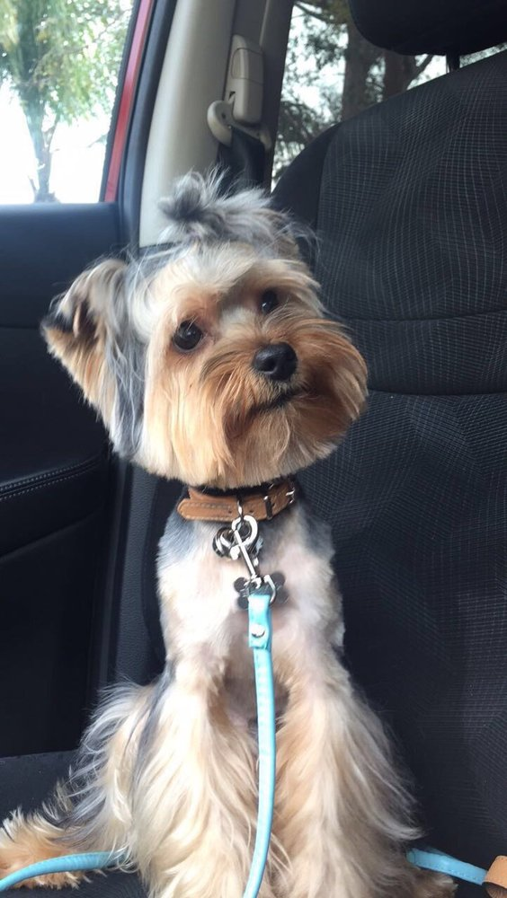 My Yorkie With A Teddy Bear Cut Overall Good Job Just Would Like