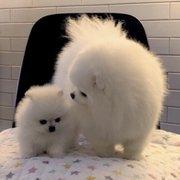 Teacup Pomeranian Puppies - 343 East 76 Street New York