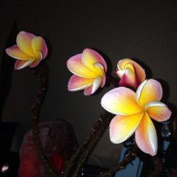 Photo Of Plumeria Hut Lithia Fl United States