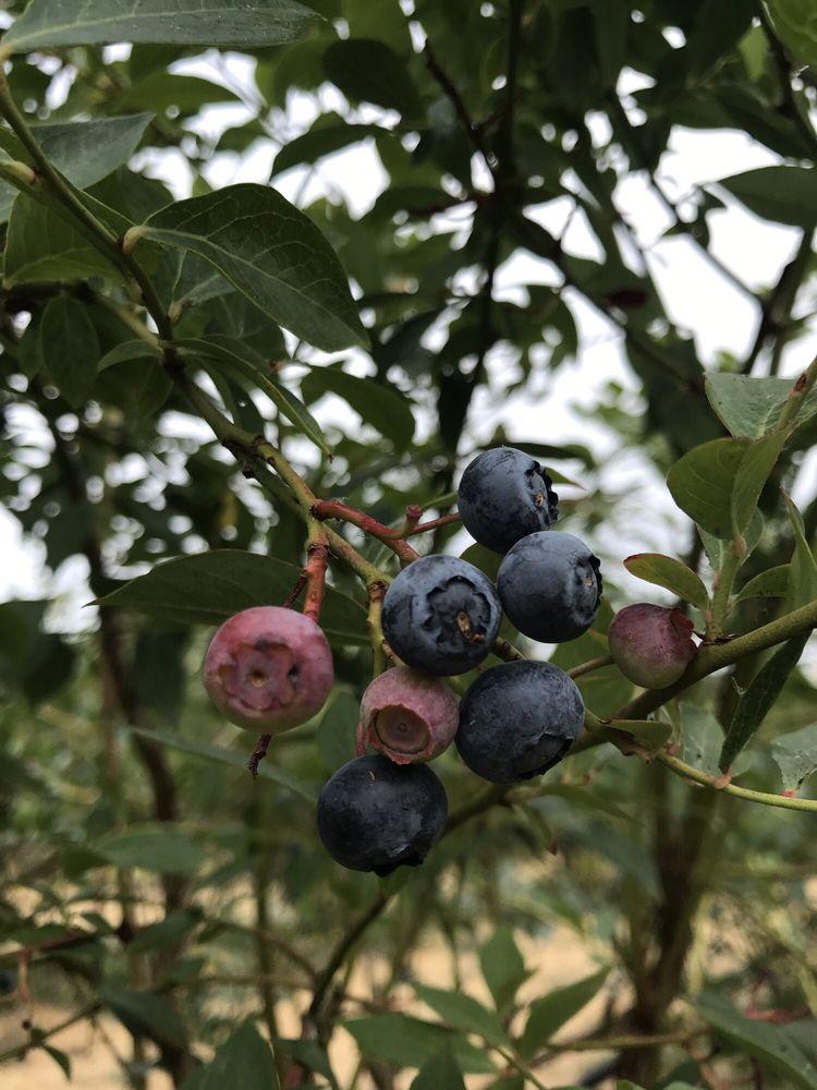 Bainbridge Island Blueberry: 11056 Madison Ave NE, Bainbridge Island, WA