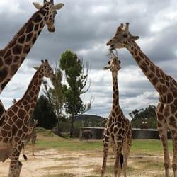 african safari 100 photos \u0026 26 reviews zoos blvd capitán
