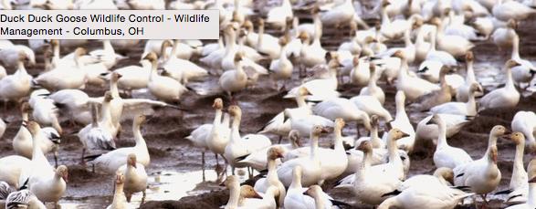 Duck Duck Goose Wildlife Control: East Liberty, OH