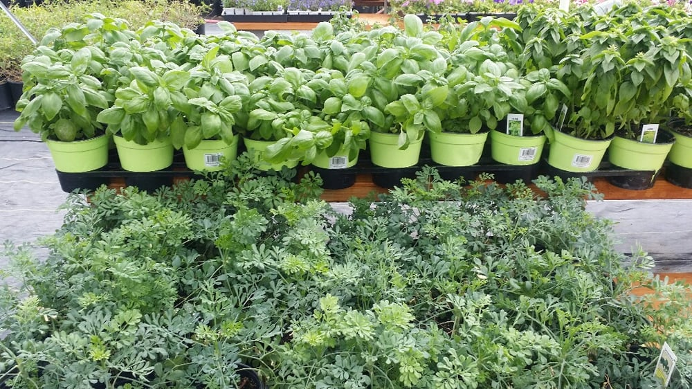 Basil and rue yelp for Idea verde garden center
