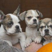 Royal Frenchel - 11 Photos - Pet Breeders - 15930 Vail Loop