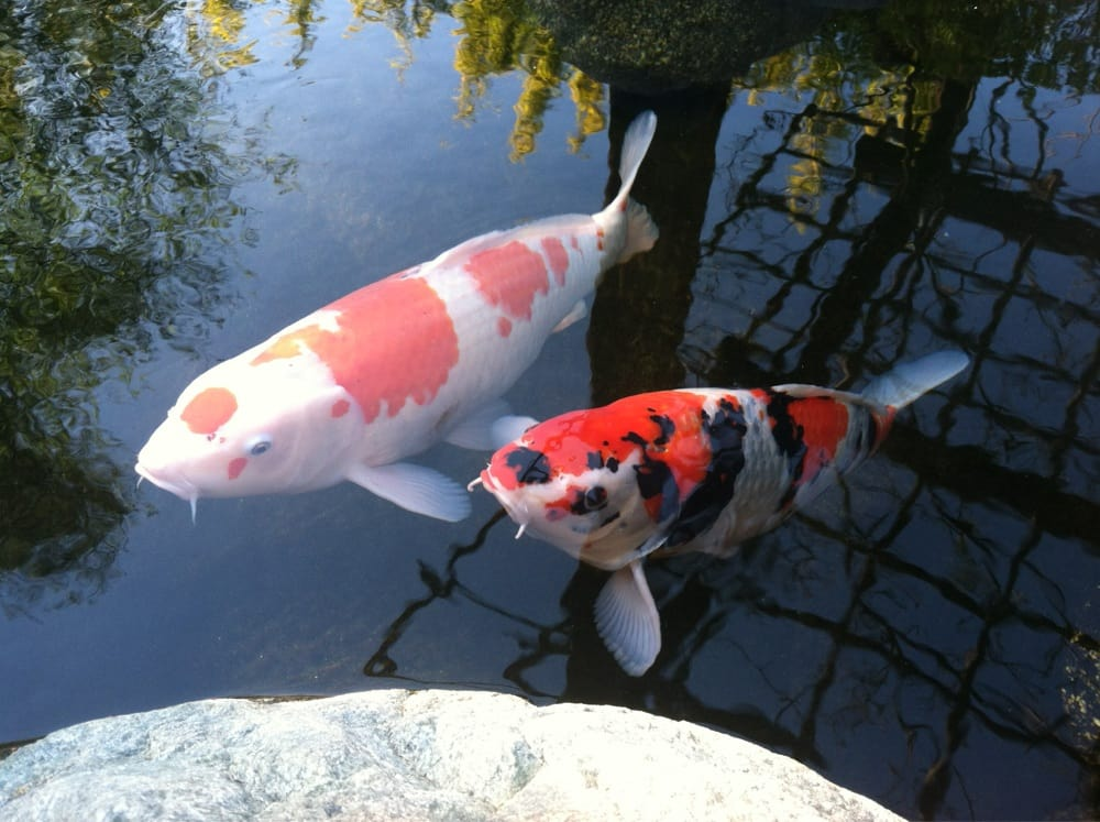 At the koi pond yelp for Japanese friendship garden san jose koi fish