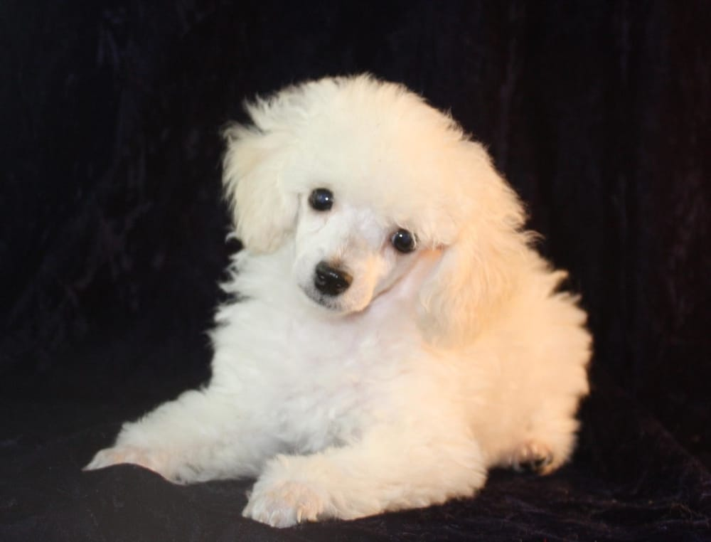Stately White Toy Poodle Male Bred By Vanier Yelp