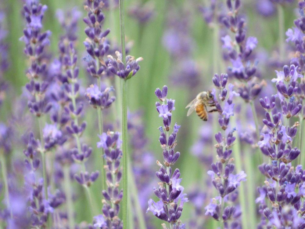 Windy Hills Lavender Farm: 3374 Stone Bridge Tr, Heber-Overgaard, AZ