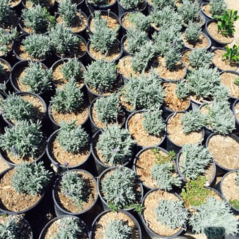 Photo Of Gardena Hills Nursery   Los Angeles, CA, United States. Lavender