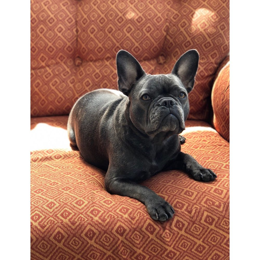 LT Frenchies: Eagleville, TN