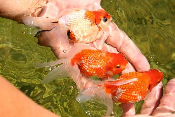 Pearlscale orandas yelp for Neighborhood fish farm