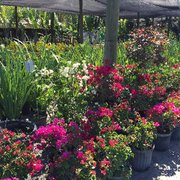 We Have Different Varieties Photo Of Sanctuary Gardens   Loxahatchee, FL,  United States. Spring Time In Sanctuary ...