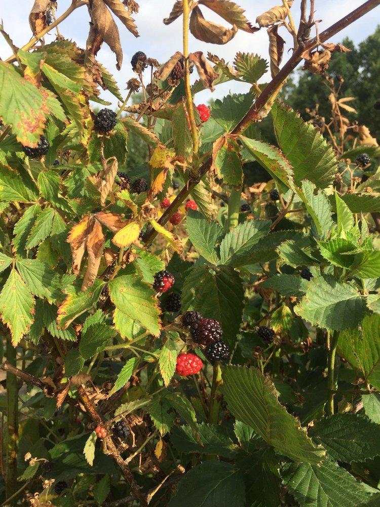 Wild Berry Farm: 905 Crawford Rd, Sadler, TX