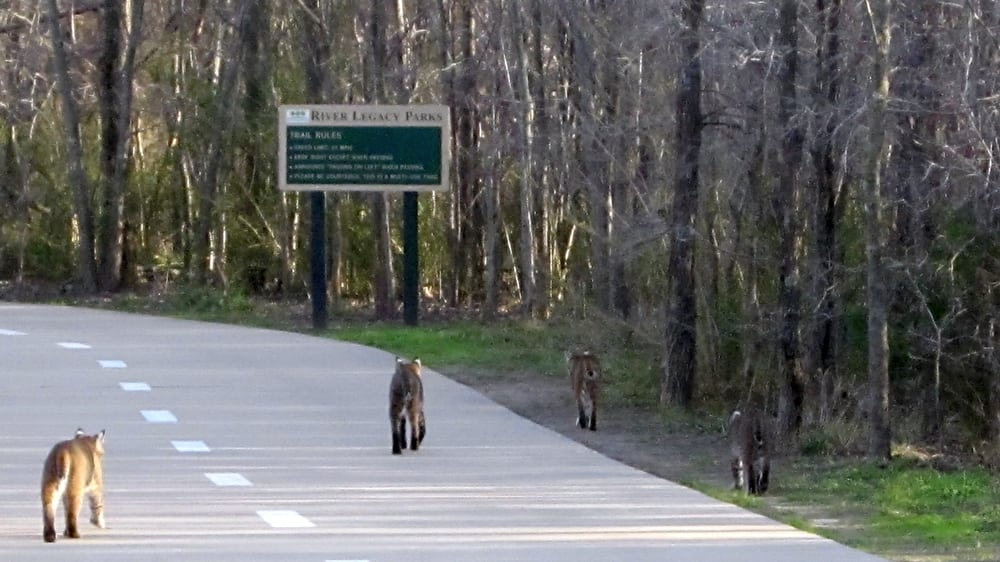Family Of Bobcats Crossing A Trail In The Park Yelp