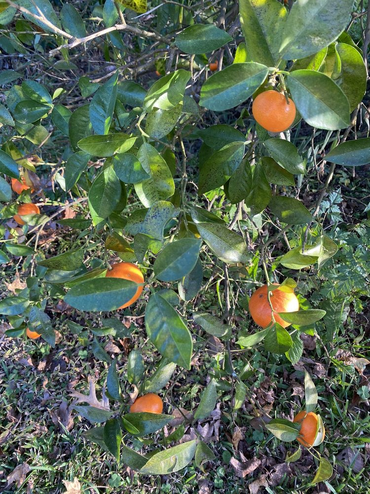 Photo of Troy's Orange Picking: Coldspring, TX