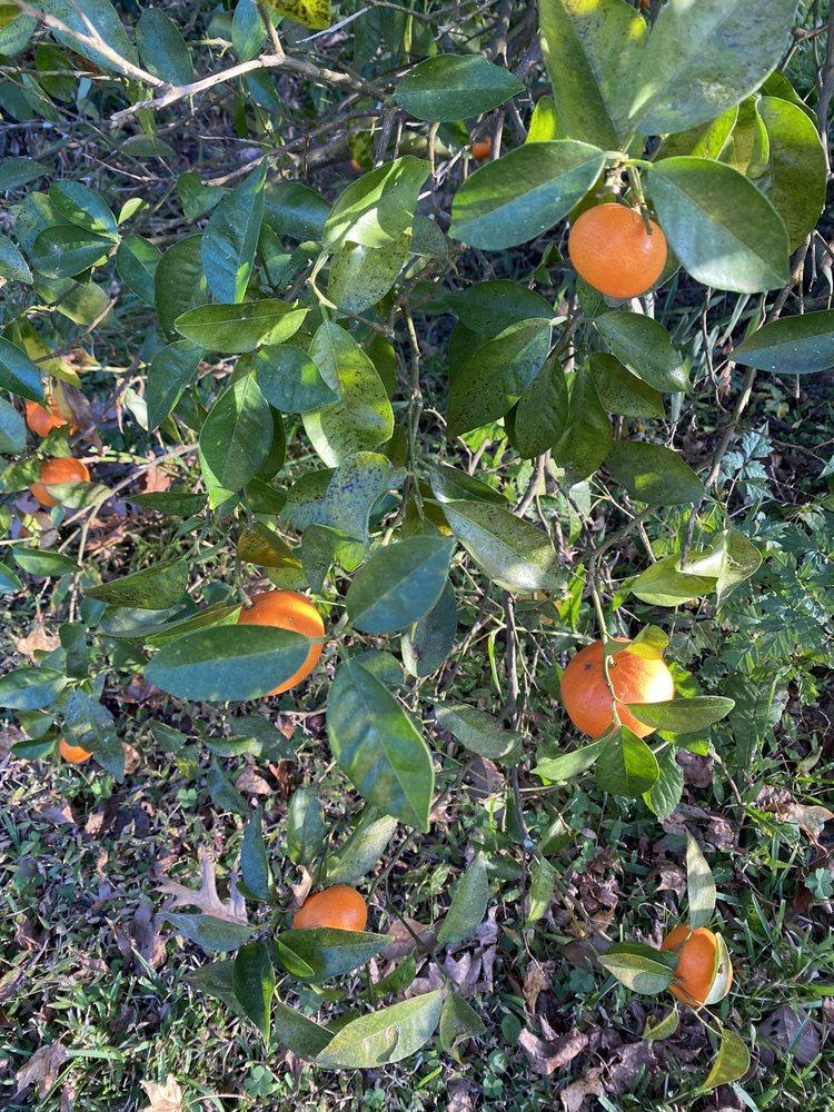 Troy's Orange Picking: 151 Hughes Rd, Coldspring, TX