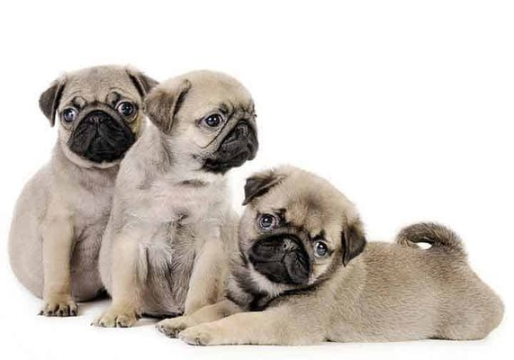 My Pug Puppy - Pet Breeders - 7378 Township Rd 601, Millersburg, OH