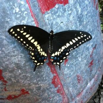Black Swallowtail At Gow Nursery Yelp